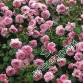 Роза May Queen