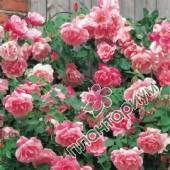 Роза Mme Gregoire Staechelin