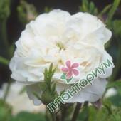 Роза Mme Hardy