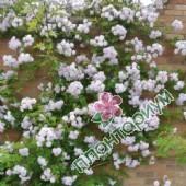 Роза Pauls Himalayan Musk