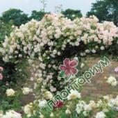 Роза Phyllis Bide