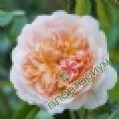 Роза Port Sunlight