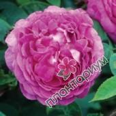 Роза Reine Des Violettes