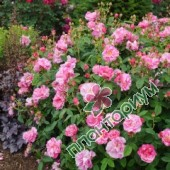 Роза Rosa Mundi