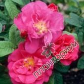 Роза Rosa Officinalis