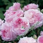 Роза Rosemoor
