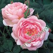 Роза Scepterd Isle