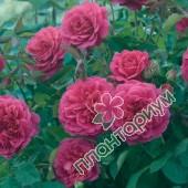 Роза Sir John Betjeman