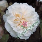 Роза Sombreuil