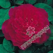 Роза Sophys Rose