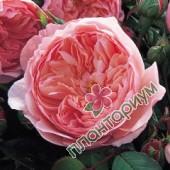 Роза The Alnwick Rose