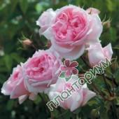 Роза The Wedgwood