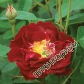 Роза Tuscany Superb