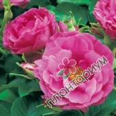 Роза Wild Edric
