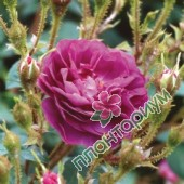 Роза William Lobb