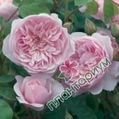 Роза Wisley 2008