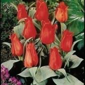 Тюльпан Annie Salomons
