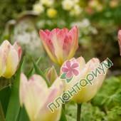 Тюльпан Antoinette
