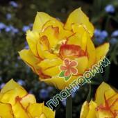Тюльпан Aquila