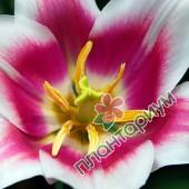 Тюльпан Ballade