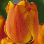 Тюльпан Double Oranje Elite