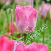 Тюльпан Elisabeth Arden