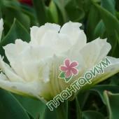 Тюльпан Global Desire