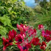 Тюльпан Kurdica