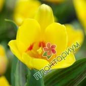 Тюльпан Miskodeed